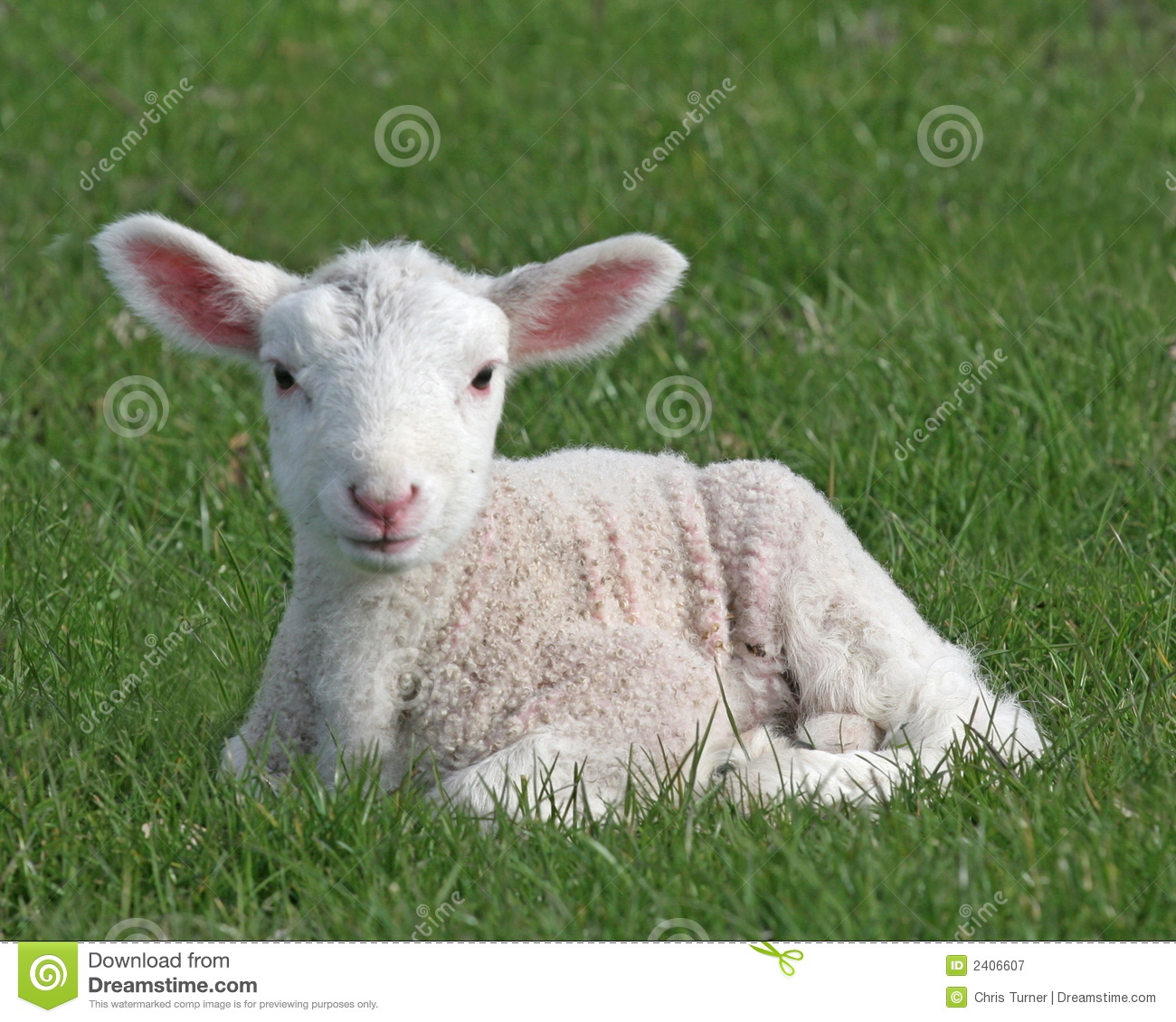 Lamb stock image. Image of cute, sheep, young, newborn ...