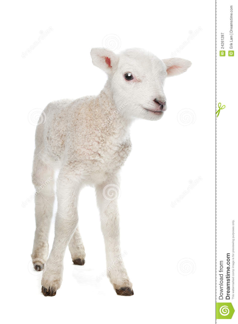 Few days old Lamb standing in front of a white background.