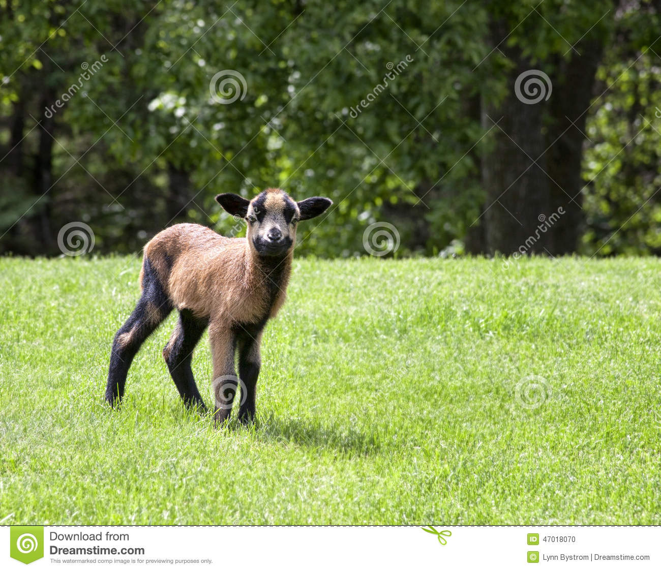 Lamb stock photo  Image of spring, summer, sheep, trees