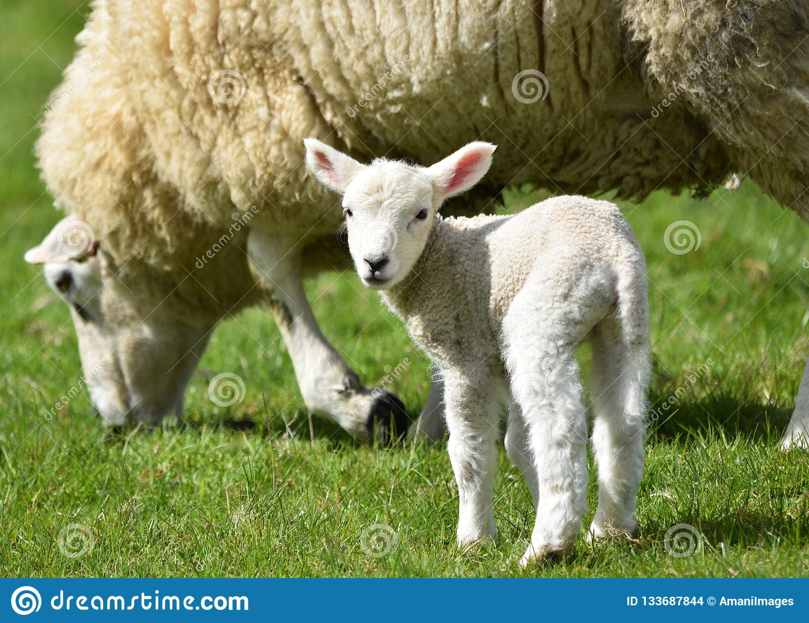 Lamb with its mother