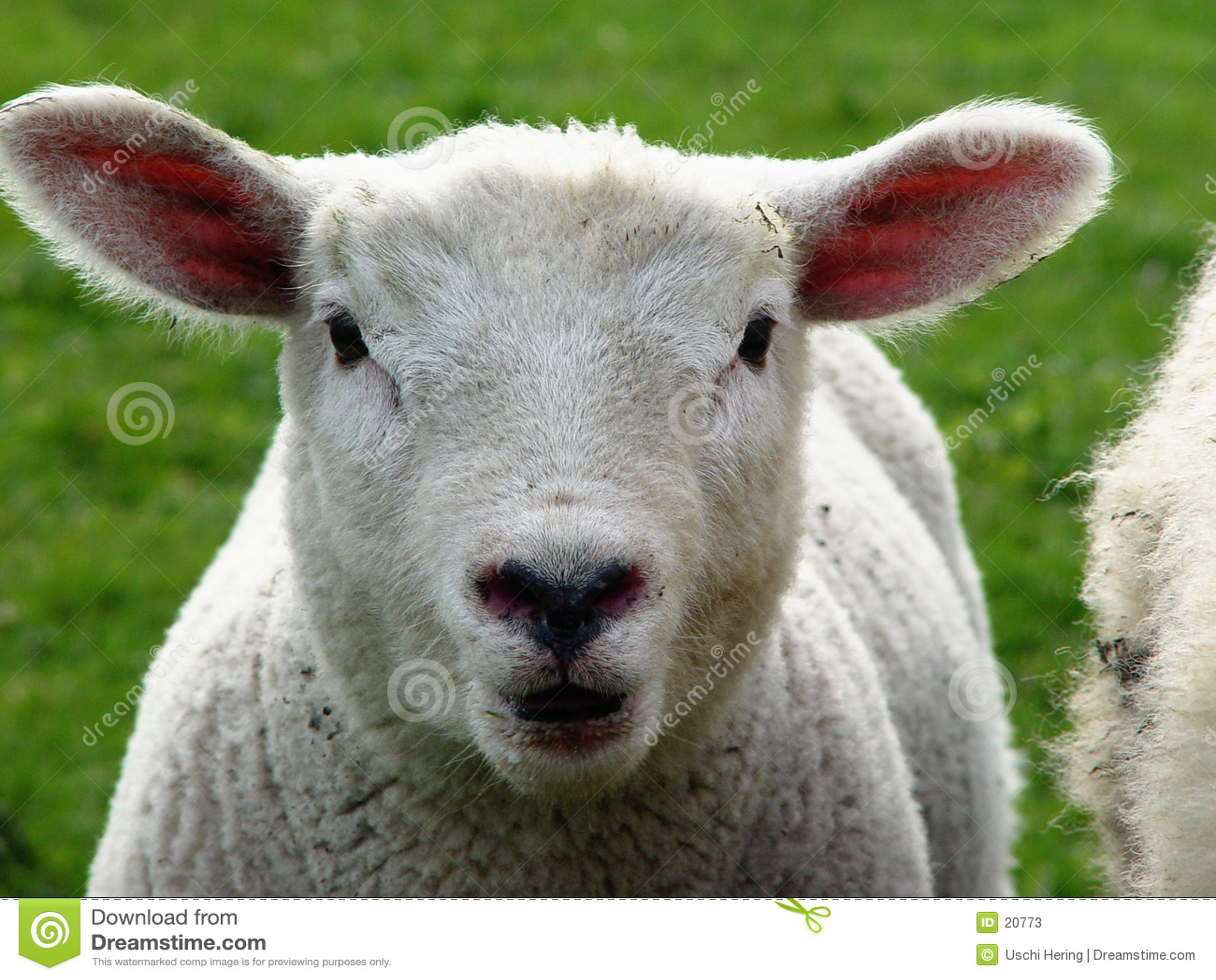 Lamb oh