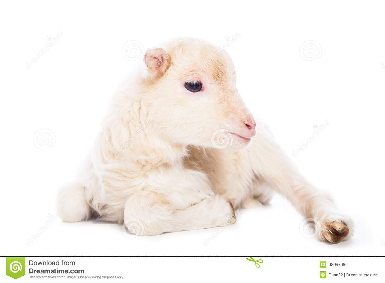 Lamb sitting in front of a white background.