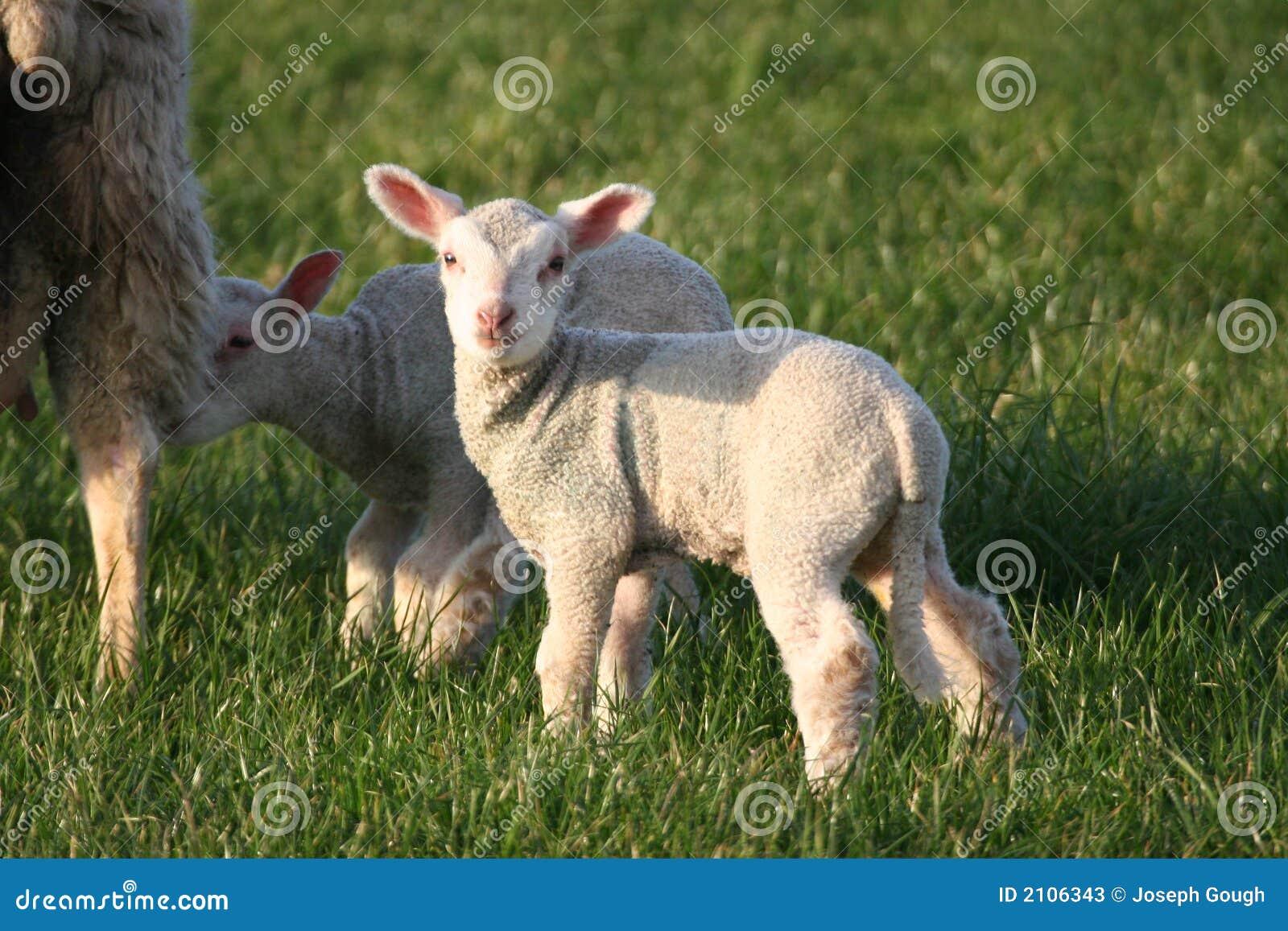 Download Lambs stock image. Image of animal, field, lamb, curious - 2106343