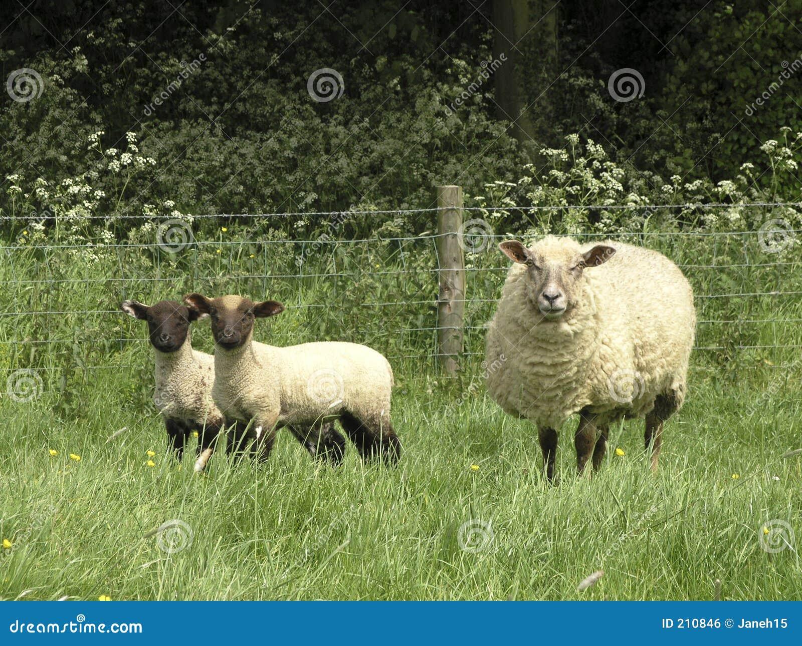 Lambs får