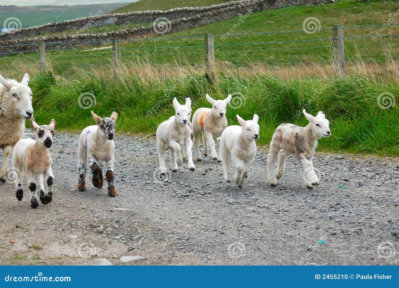 Lambs running stock photo  Image of mammal, hopeful, cute