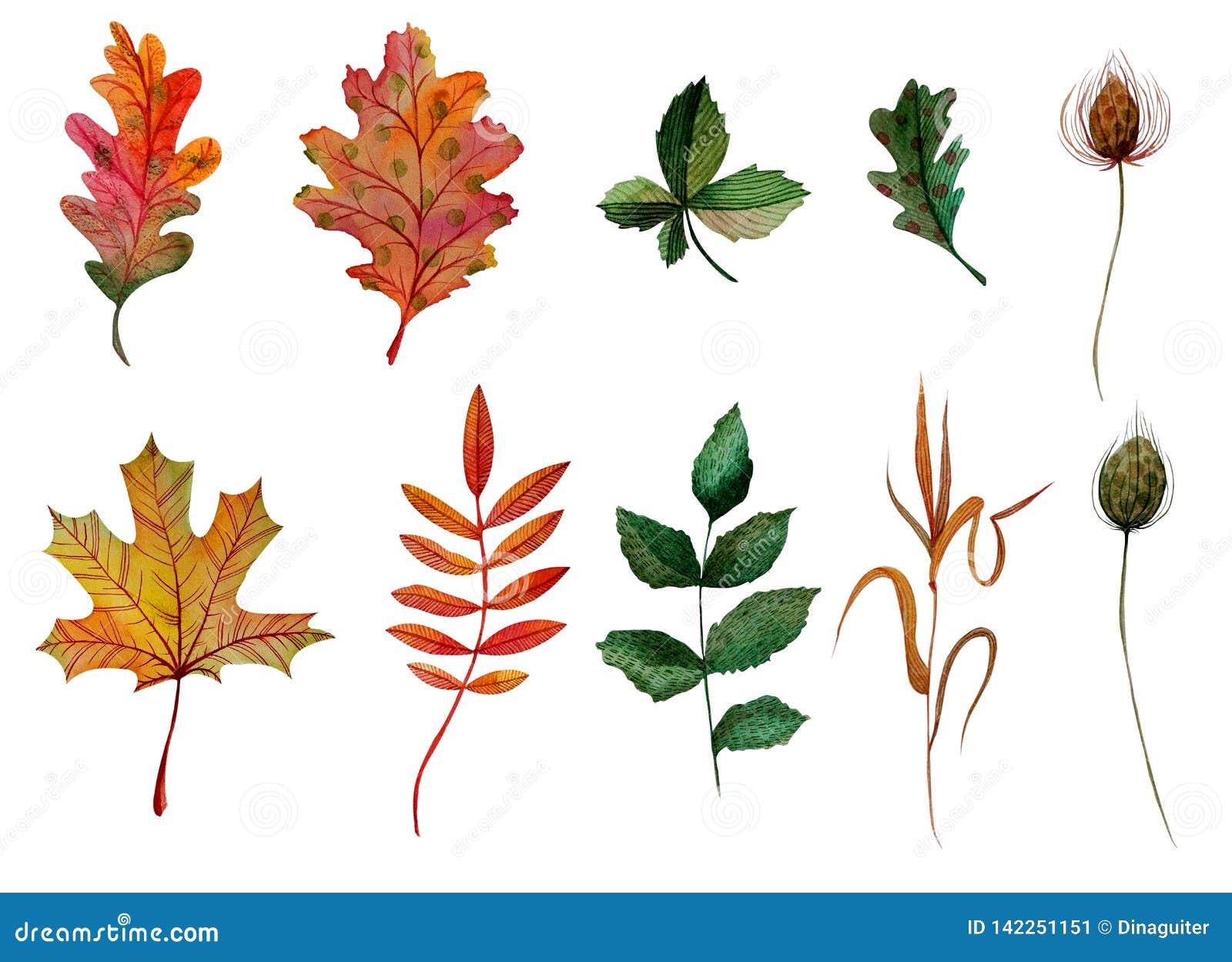 Lame ashberry de châtaigne de cynorrhodon d érable de chêne de feuilles d automne d ensemble d éléments d aquarelle de bureau d h