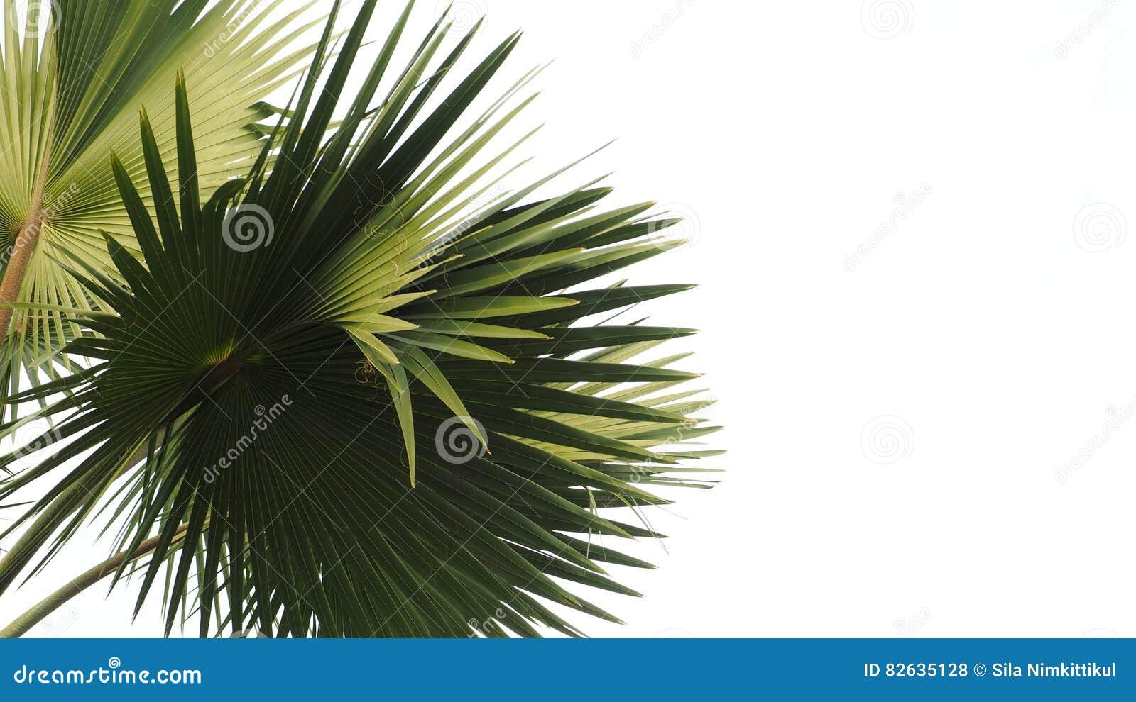 Lame de palmier