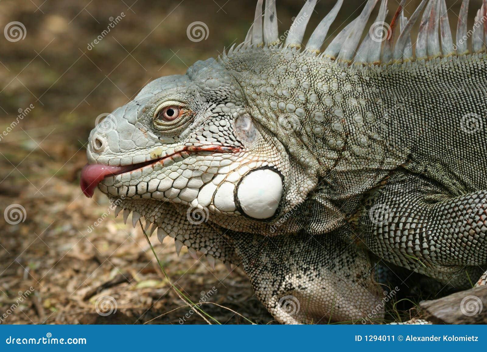 Lamedura de la iguana