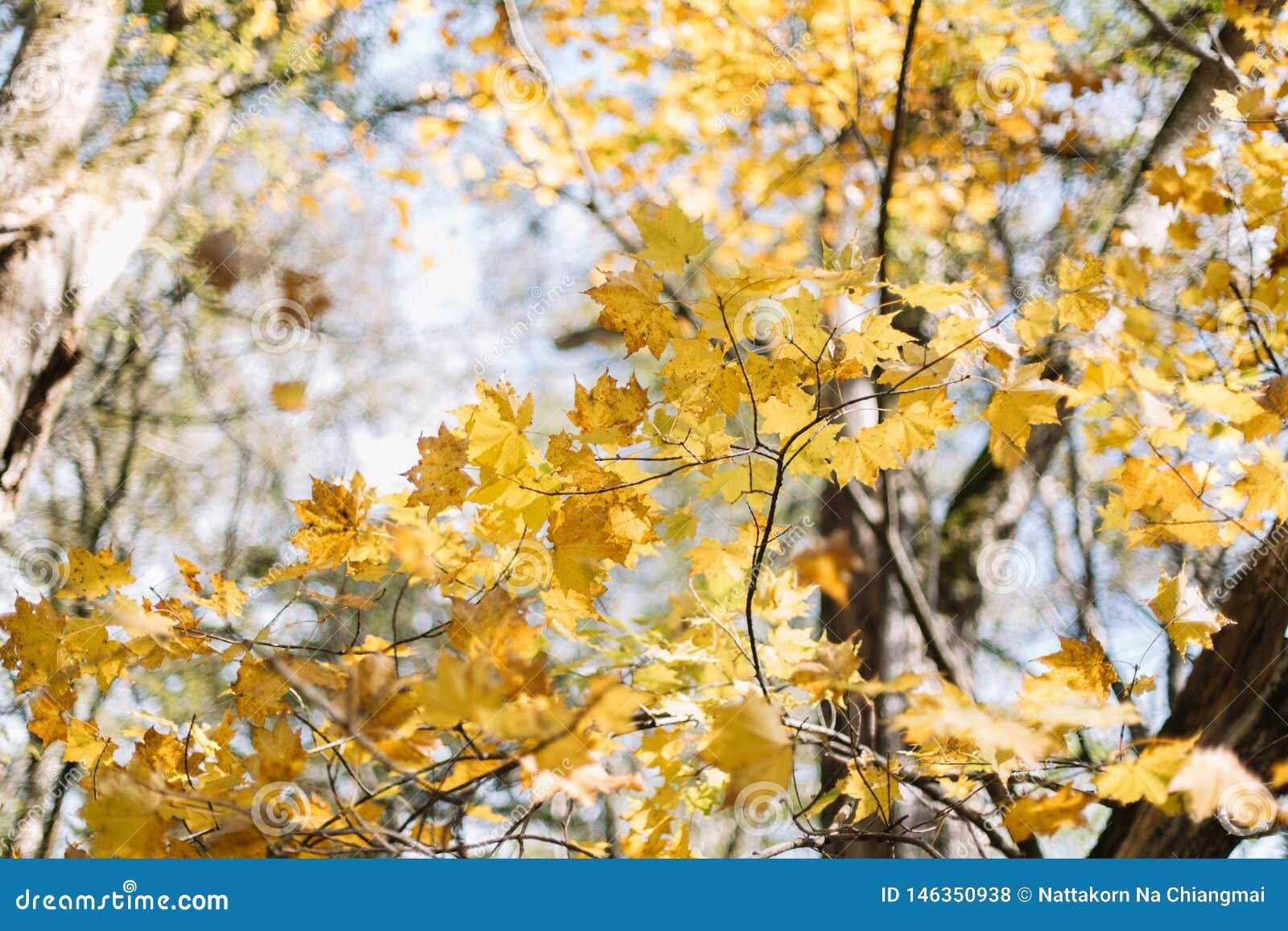 Lames color?es d ?rable Feuille d ?rable jaune en automne