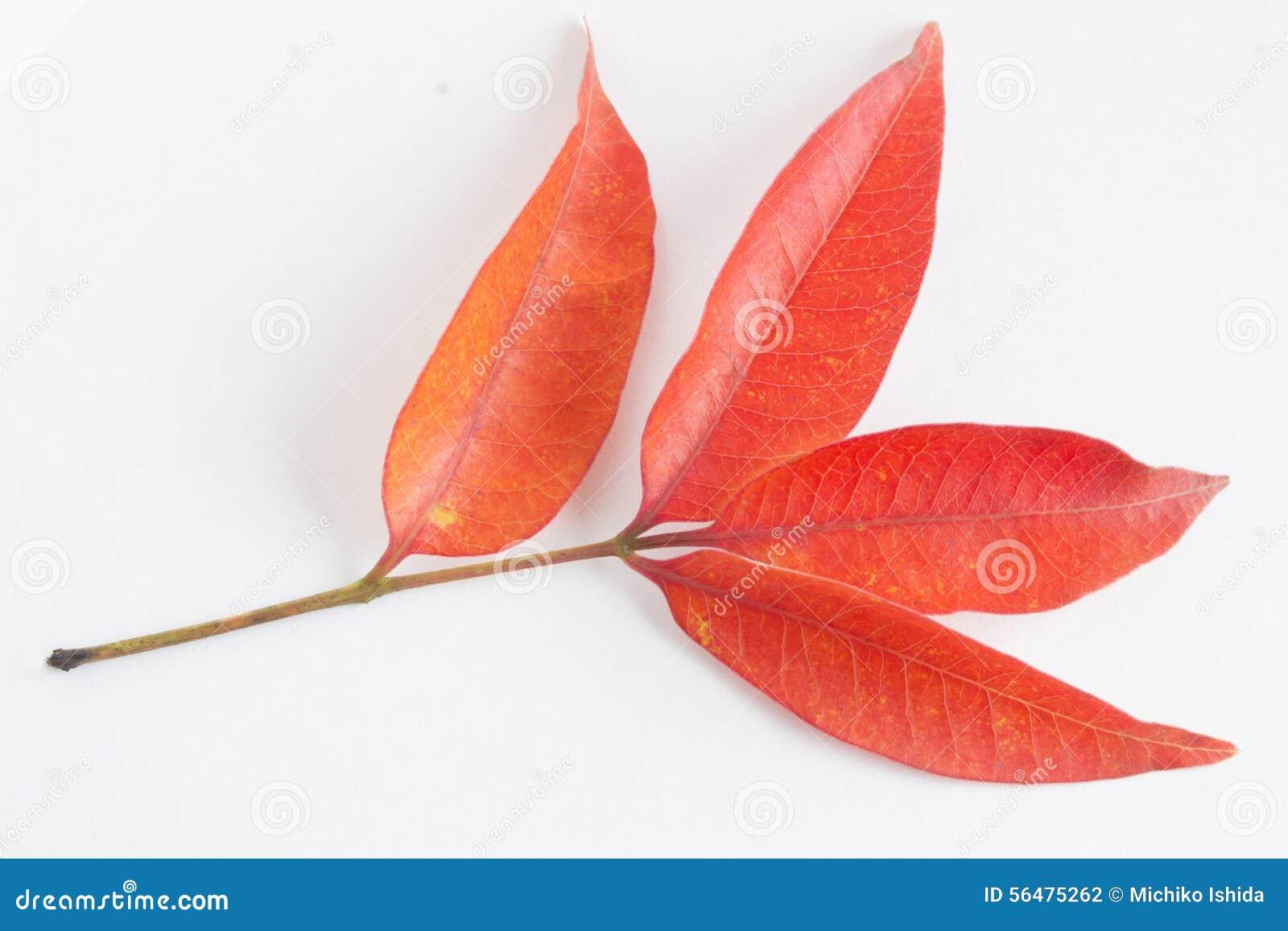 Lames d automne rouges