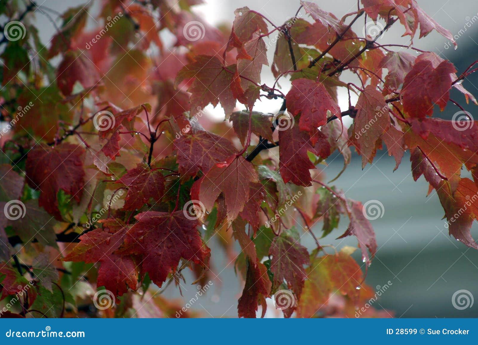 Lames d automne sous la pluie