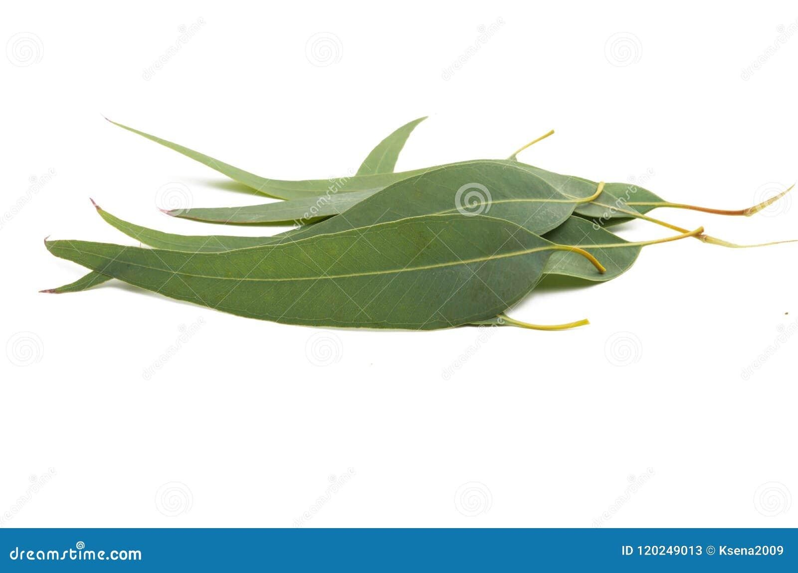 Lames d isolement par eucalyptus