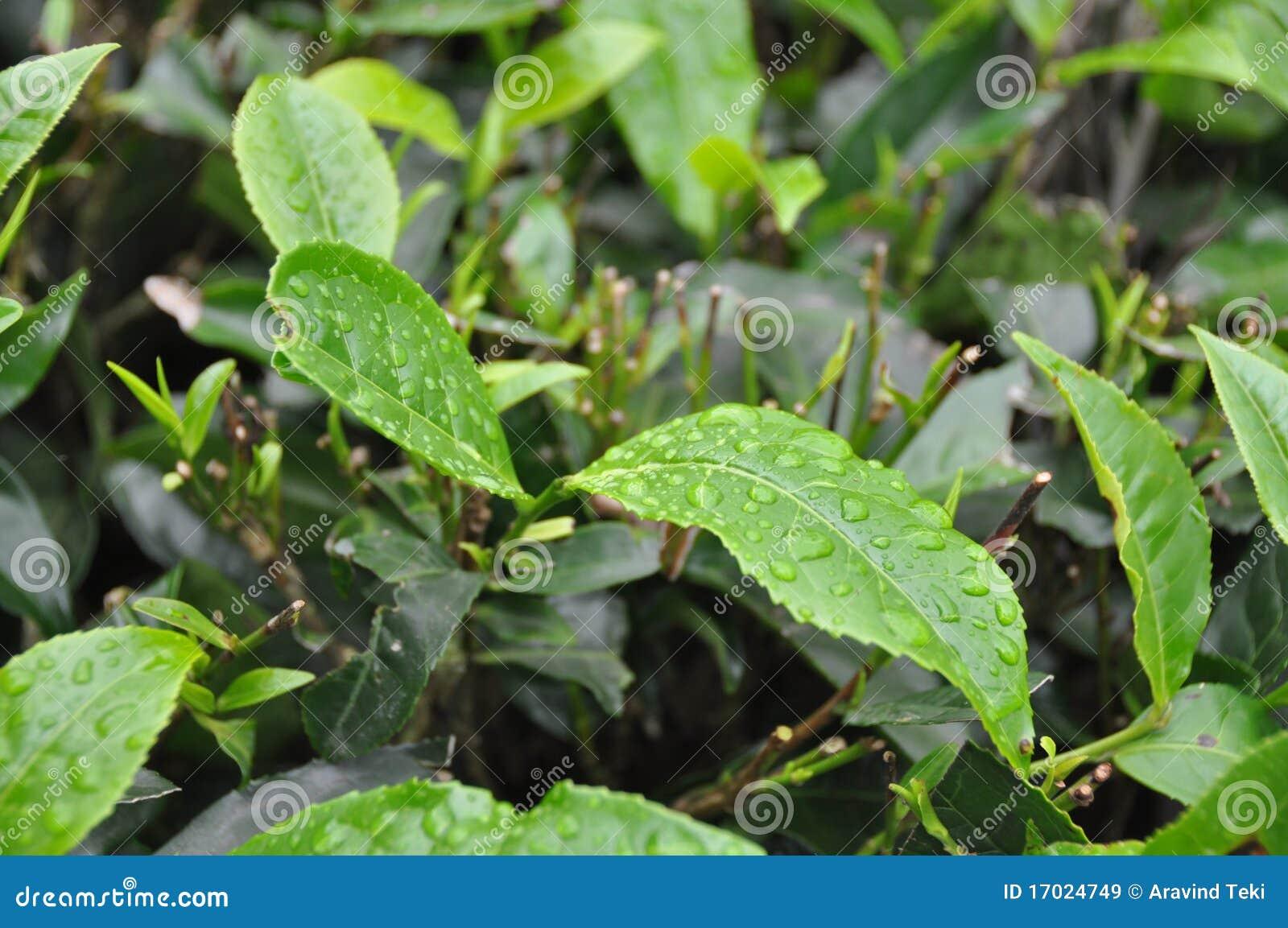 Lames de jardin de thé Inde du sud