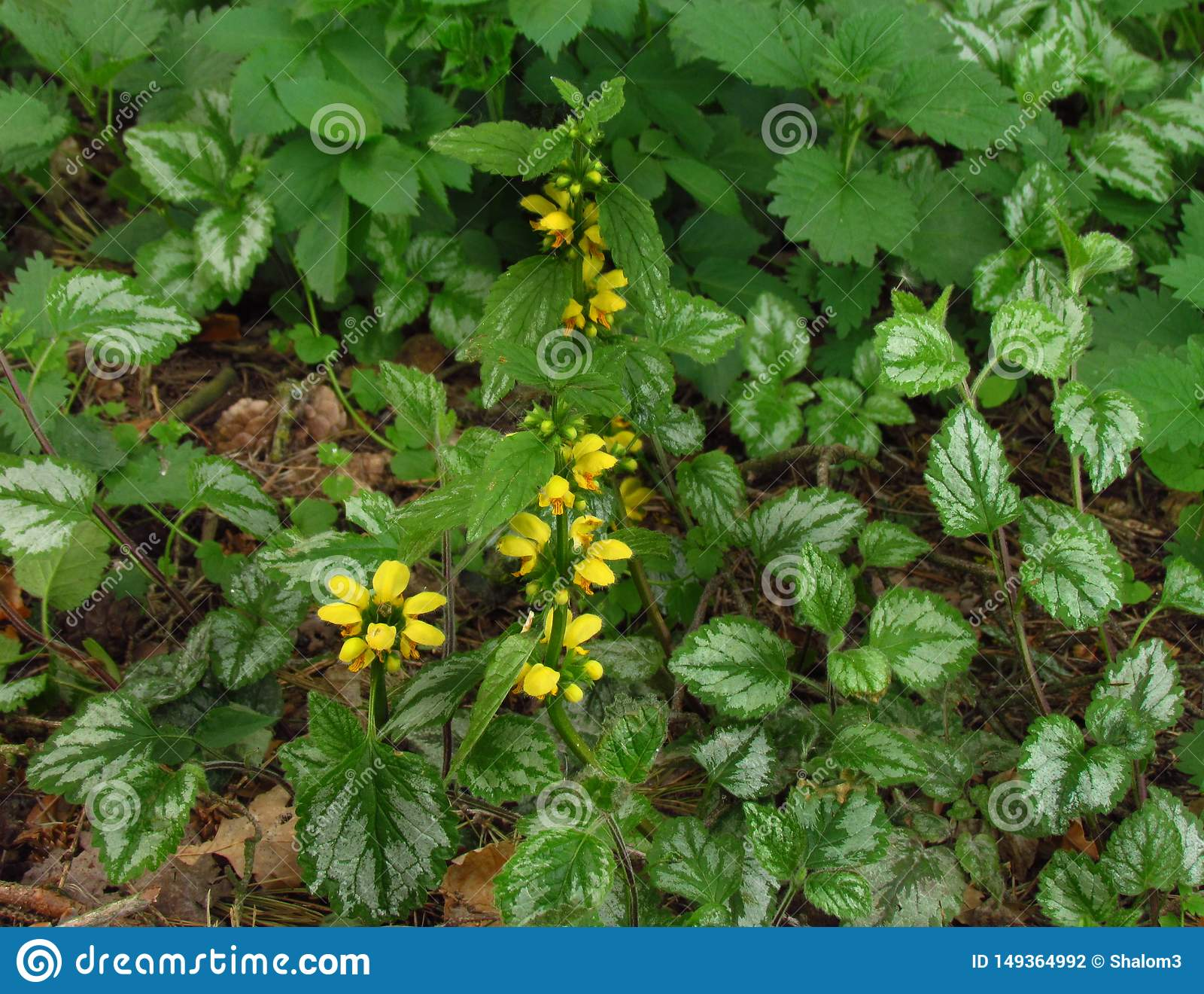 Lamiastrum galeobdolon other name Galeobdolon luteum, perennial yellow flowering herb