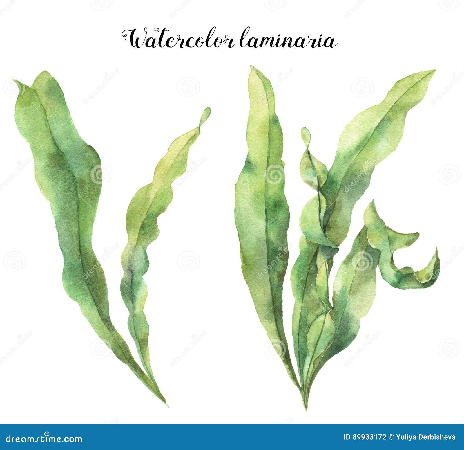 Laminaria dell acquerello L illustrazione floreale subacquea dipinta a mano con le alghe lascia il ramo isolato su fondo bianco