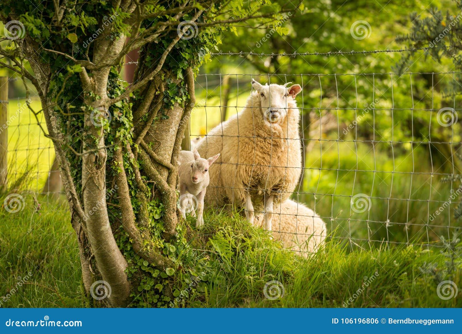 Lamm och får som delas av ett staket