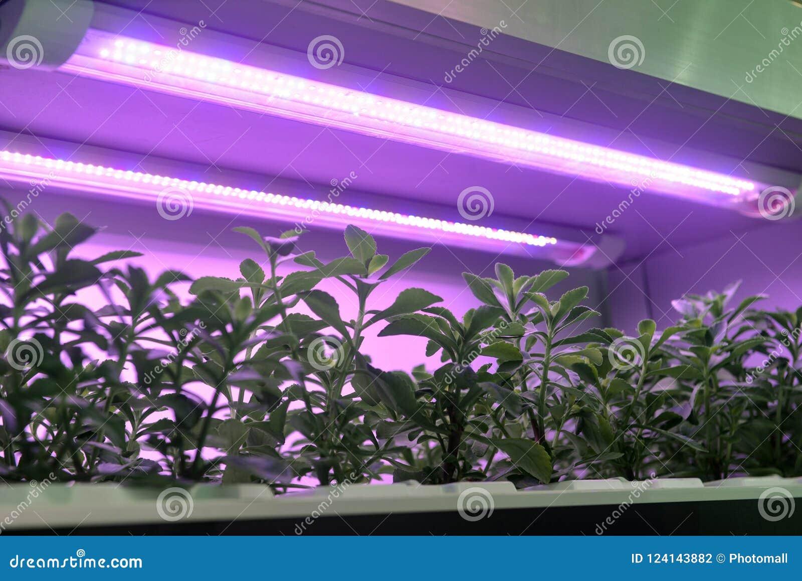 Lampada principale di crescita di pianta utilizzata per coltivare
