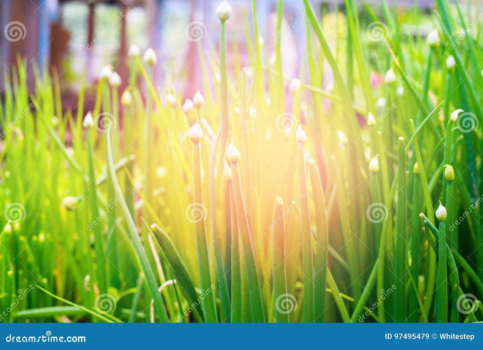 Lampadine della primavera di verde del gruppo delle cipolle sul letto