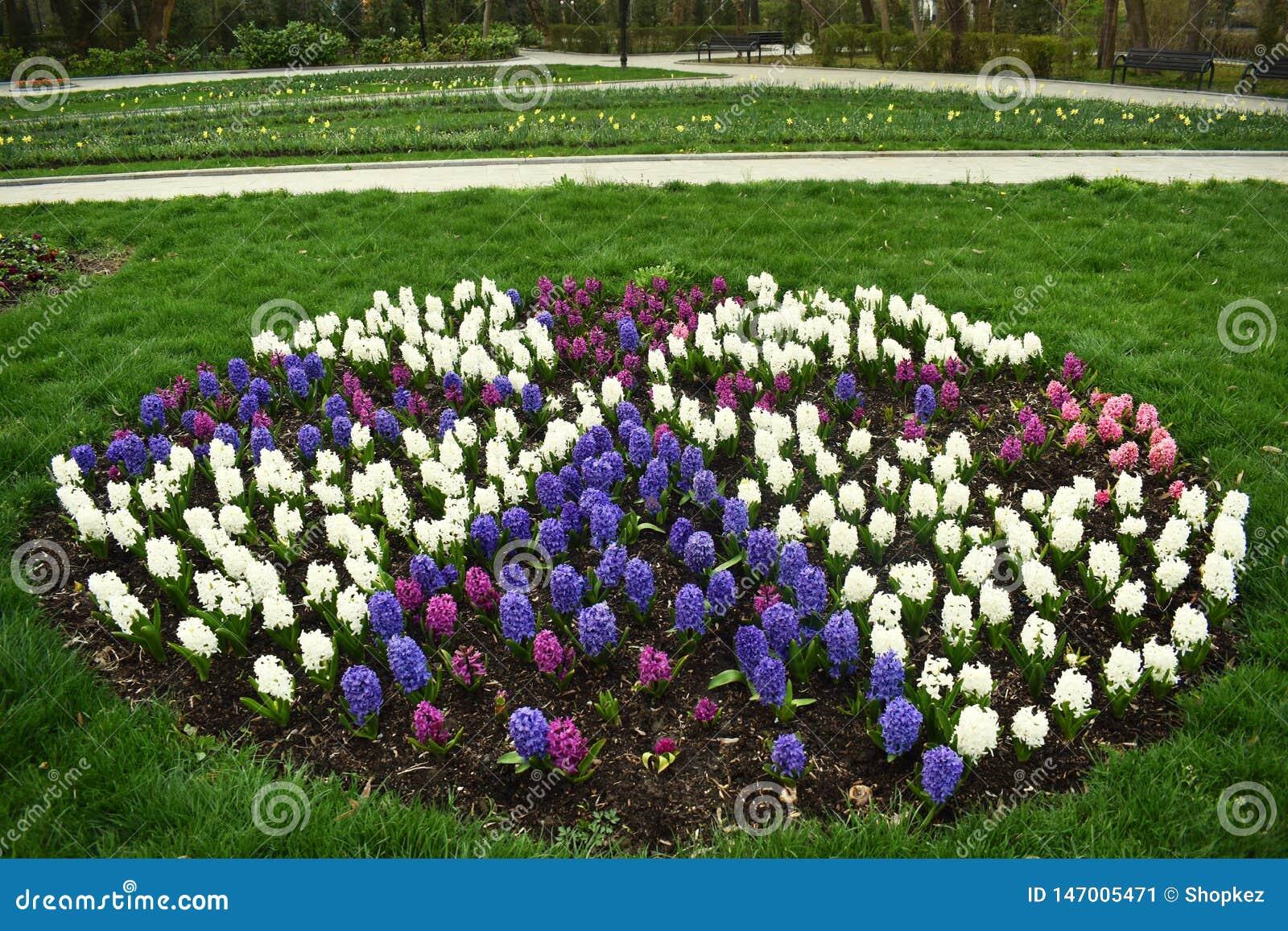 Lampadine porpora, bianche e rosa della molla in anticipo fresca del giacinto, sviluppate nei fowerbeds del giardino del parco de