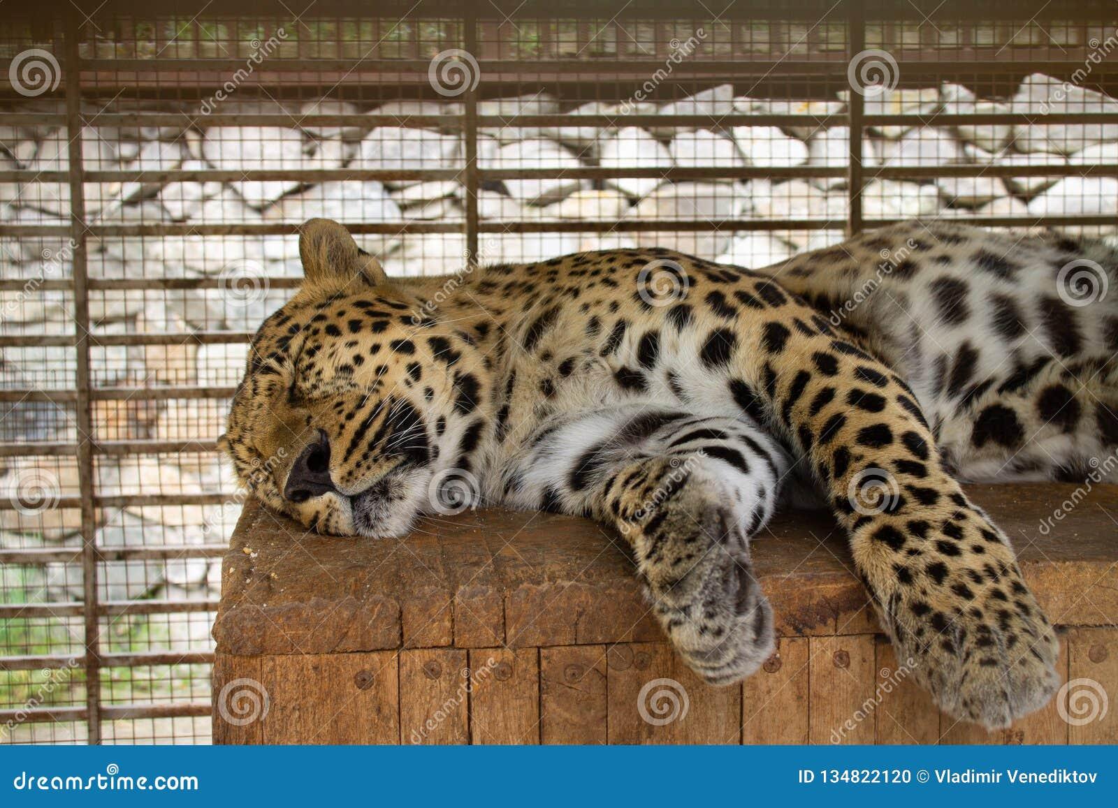 Lampart śpi na drewnianej powierzchni