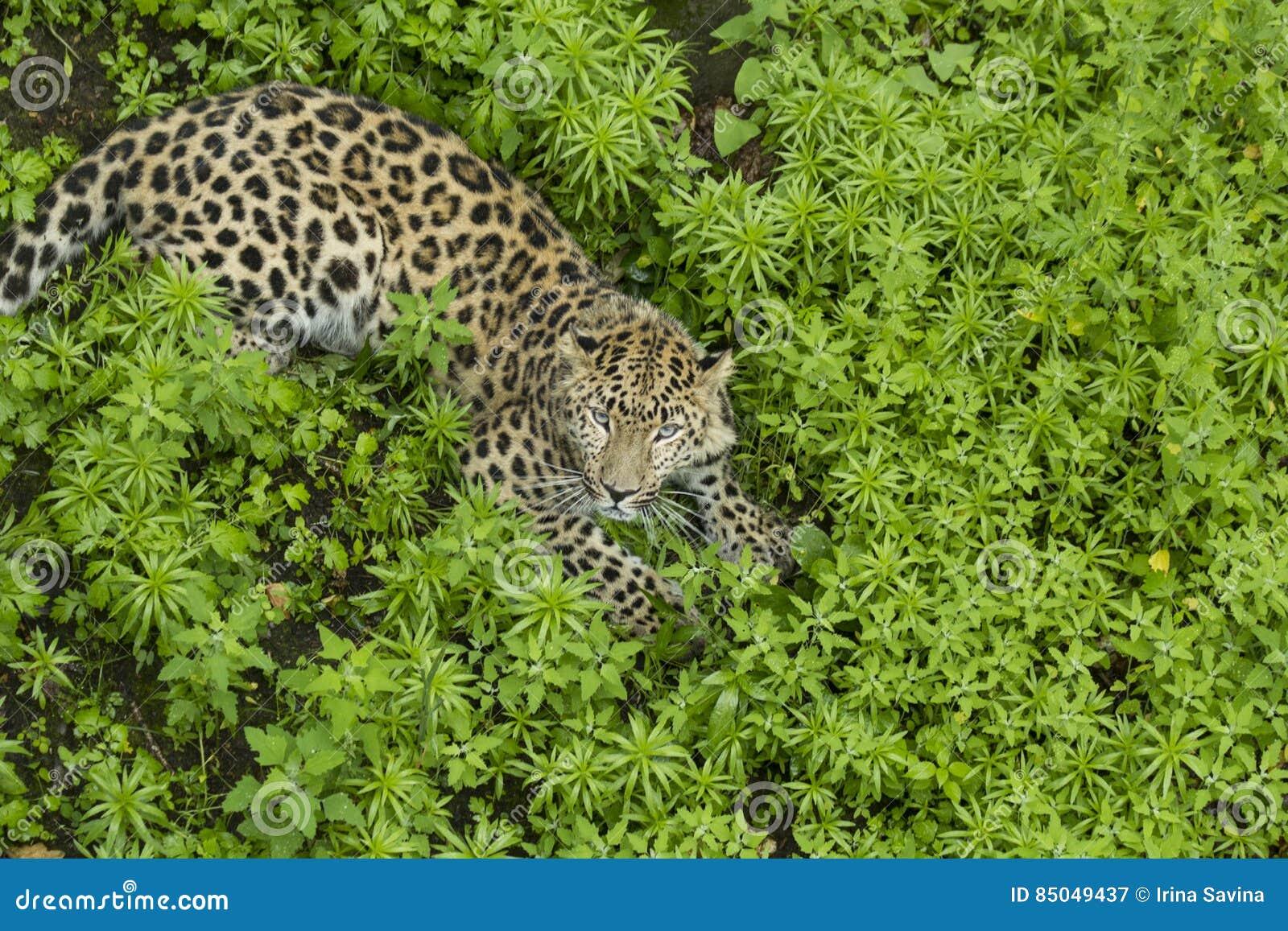 Lampart patrzeje w kamerze na trawie