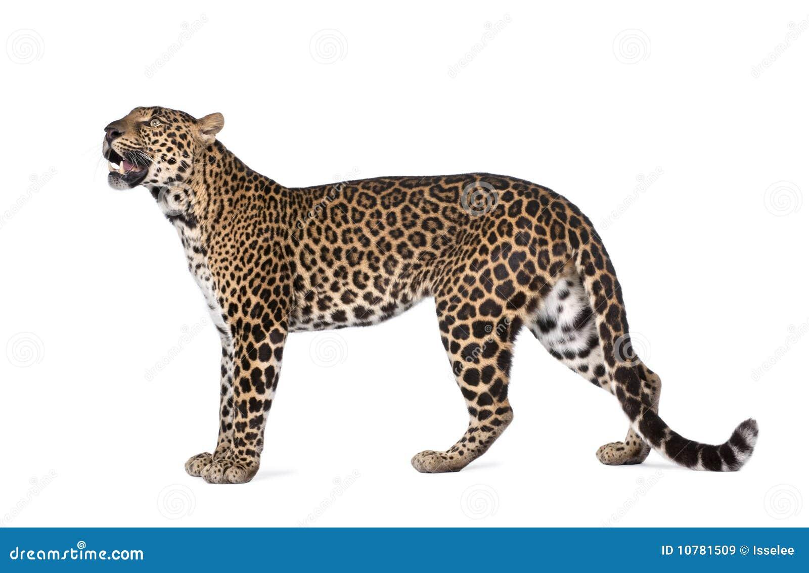 Lamparta panthera pardus portreta pozycja