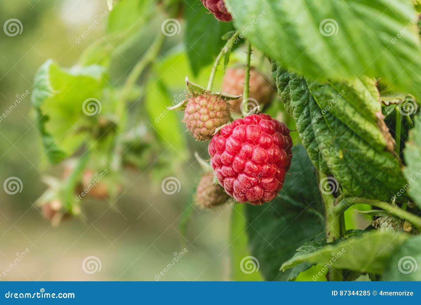 Lampone organico maturo, crescente su un ramo