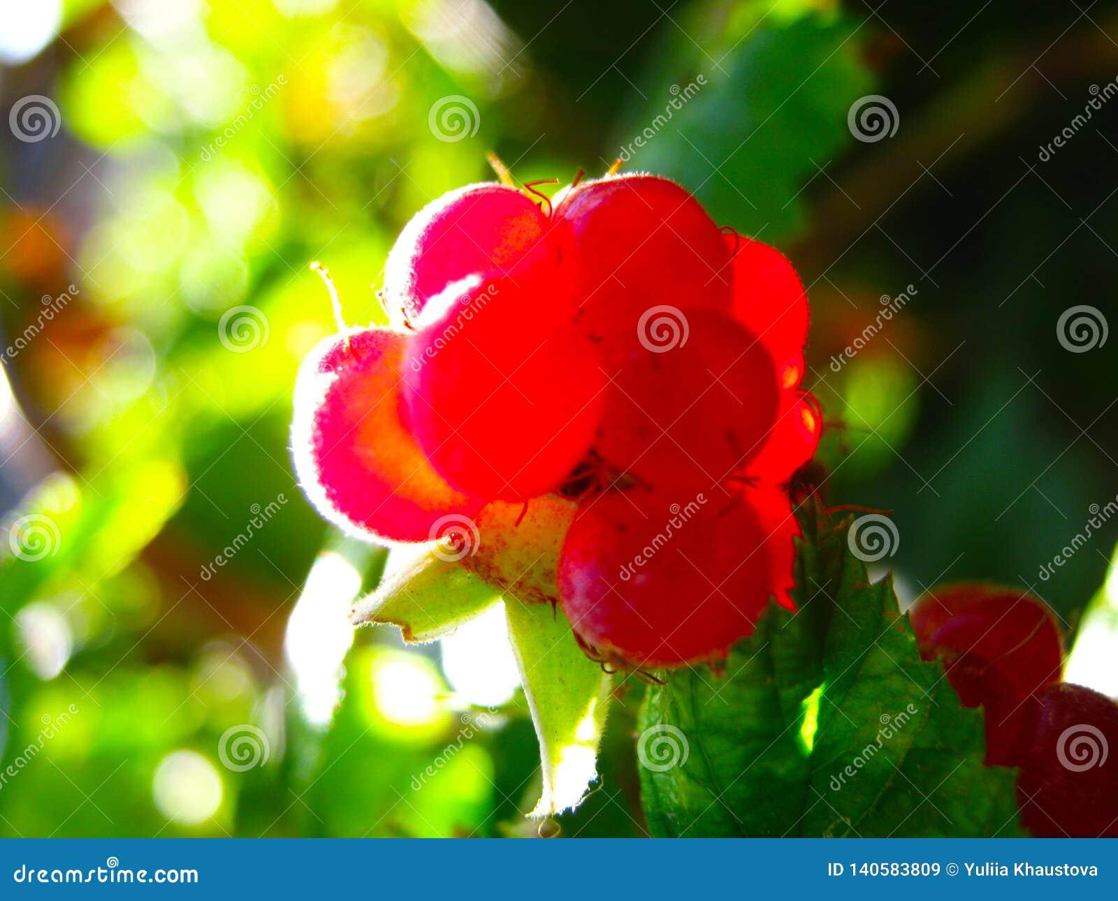 Lamponi maturi rossi su un cespuglio Primo piano delle bacche organiche fresche con le foglie verdi sulla canna del lampone
