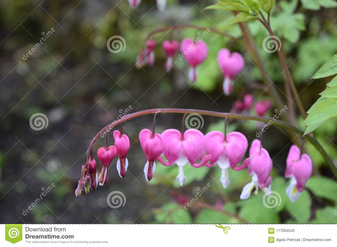 White And Pink Flowers Bleeding Hearts Stock Image Image Of