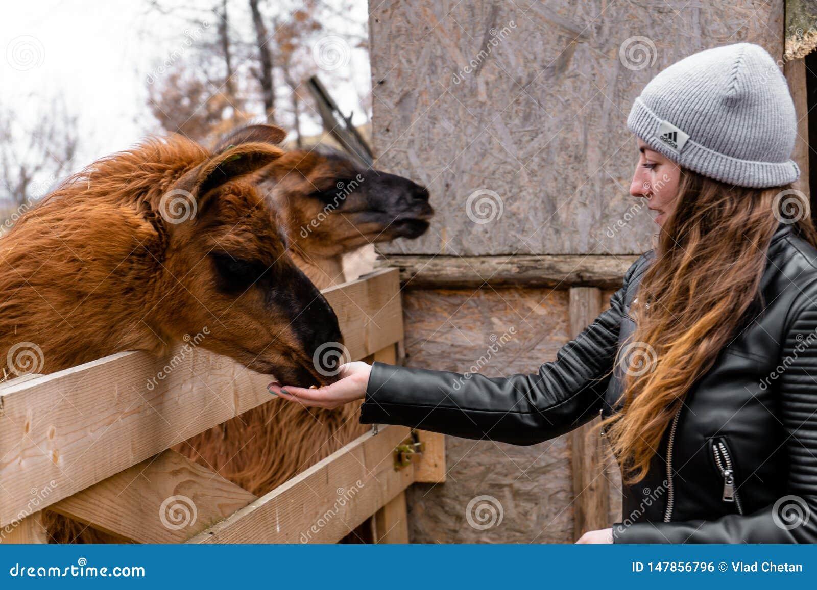 Lamy łasowanie od dziewczyny ręki przy zoo