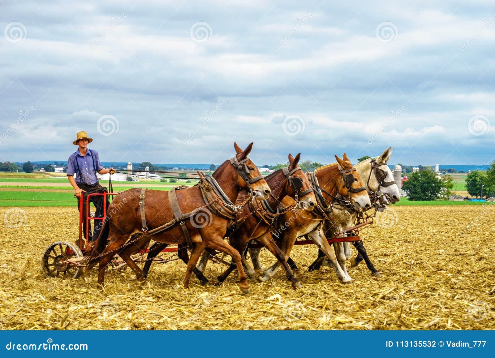 Lancaster, Pensilvânia - 4 de outubro de 2016 agricultura do campo do celeiro da exploração agrícola do cavalo do país de Amish n