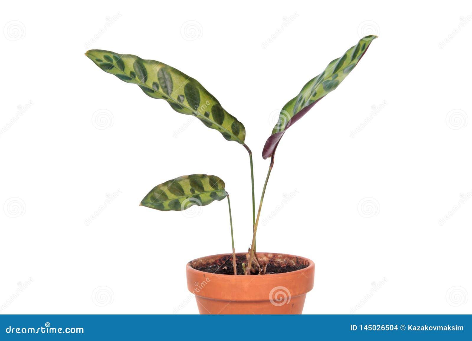 Lancifolia de Calathea ou usine de serpent à sonnettes dans le pot de fleurs d isolement sur le fond blanc