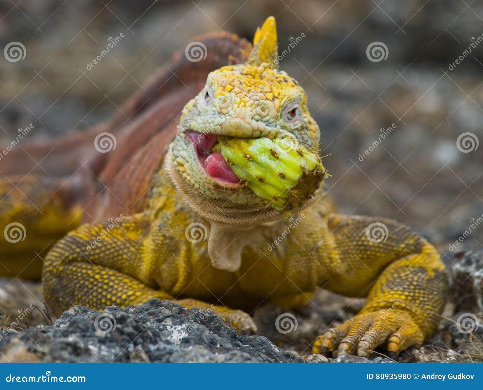 The land iguana eats a cactus. The Galapagos Islands. Pacific Ocean. Ecuador.