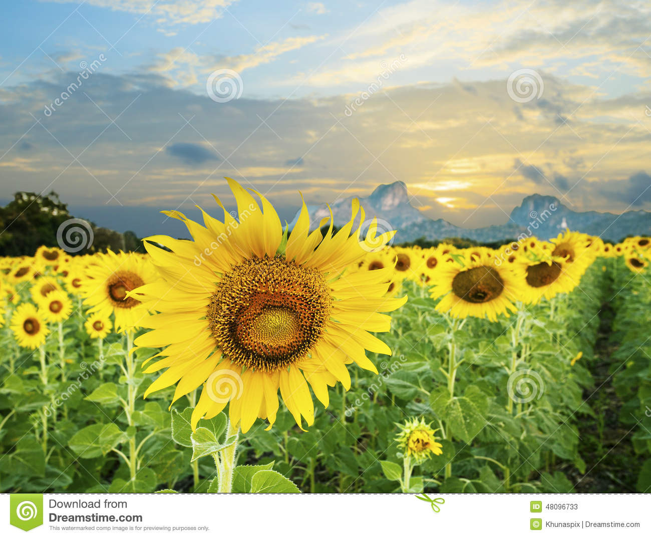 land scape of agriculture of sunflowers field against beautiful stock image