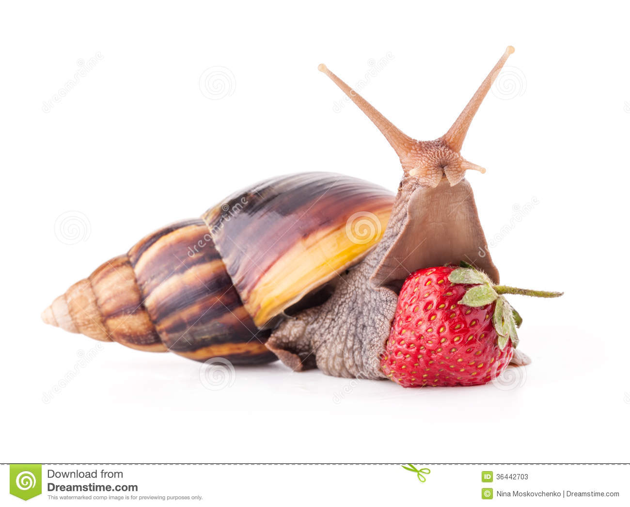 Giant african land snail eating - photo#4