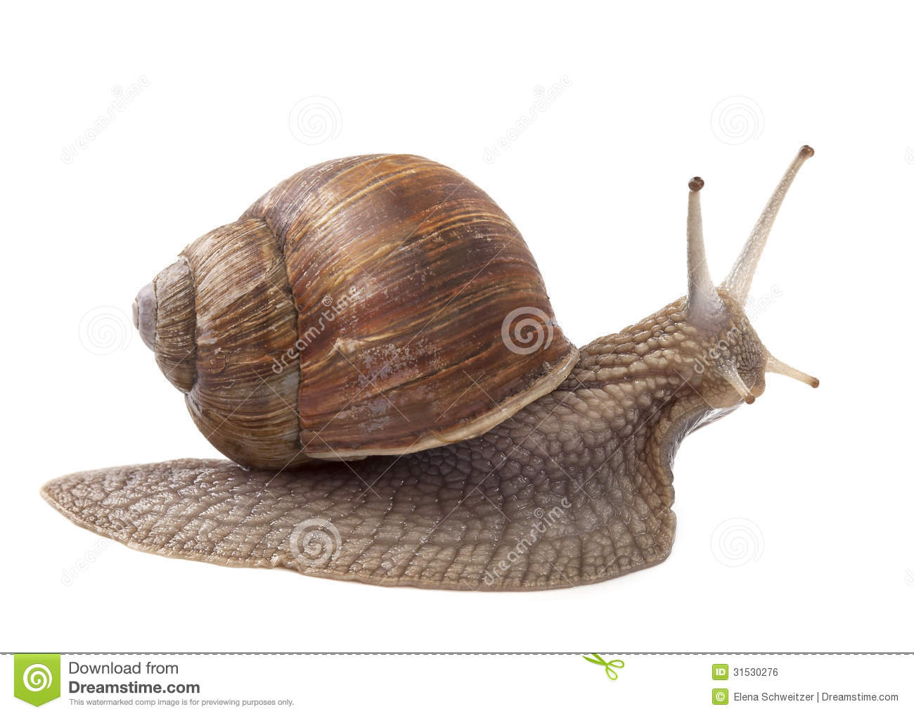 Land snail stock photo image of grapevinesnail slow for Caracoles en el jardin