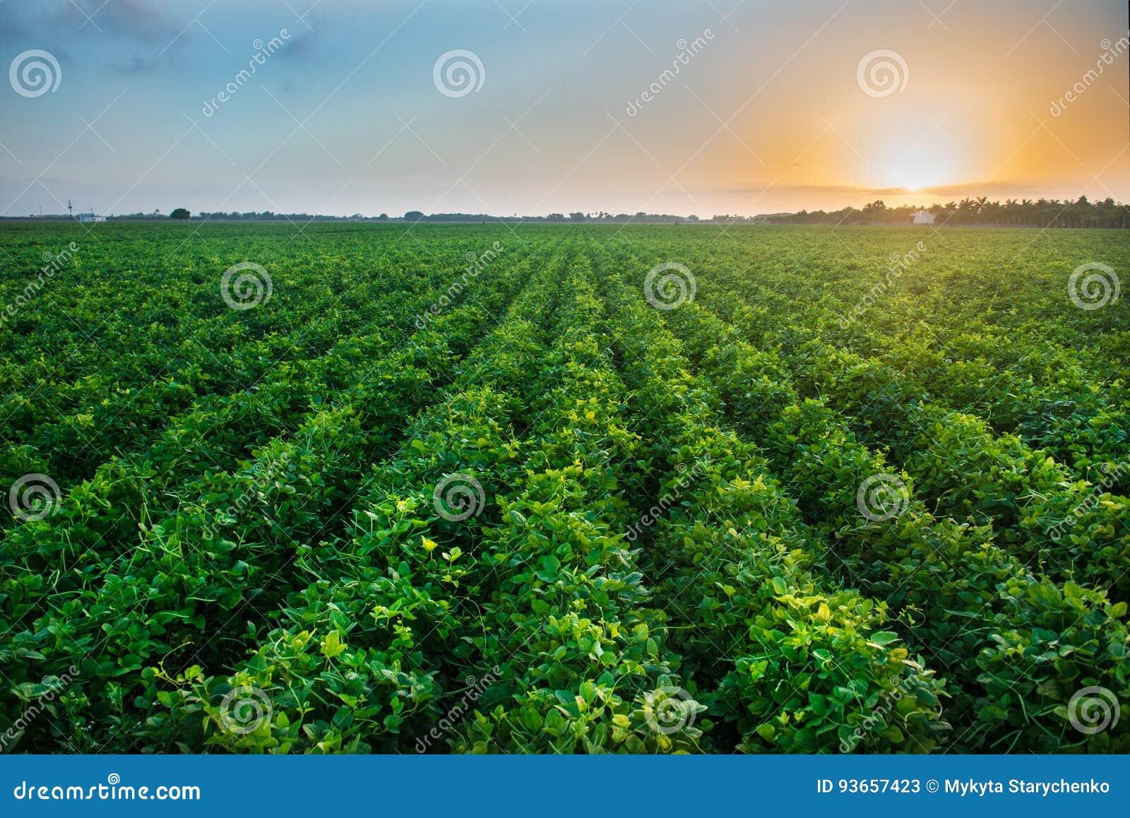 Landbouw de industrielandbouwbedrijf die genetisch gewijzigd voedsel op gebied kweken