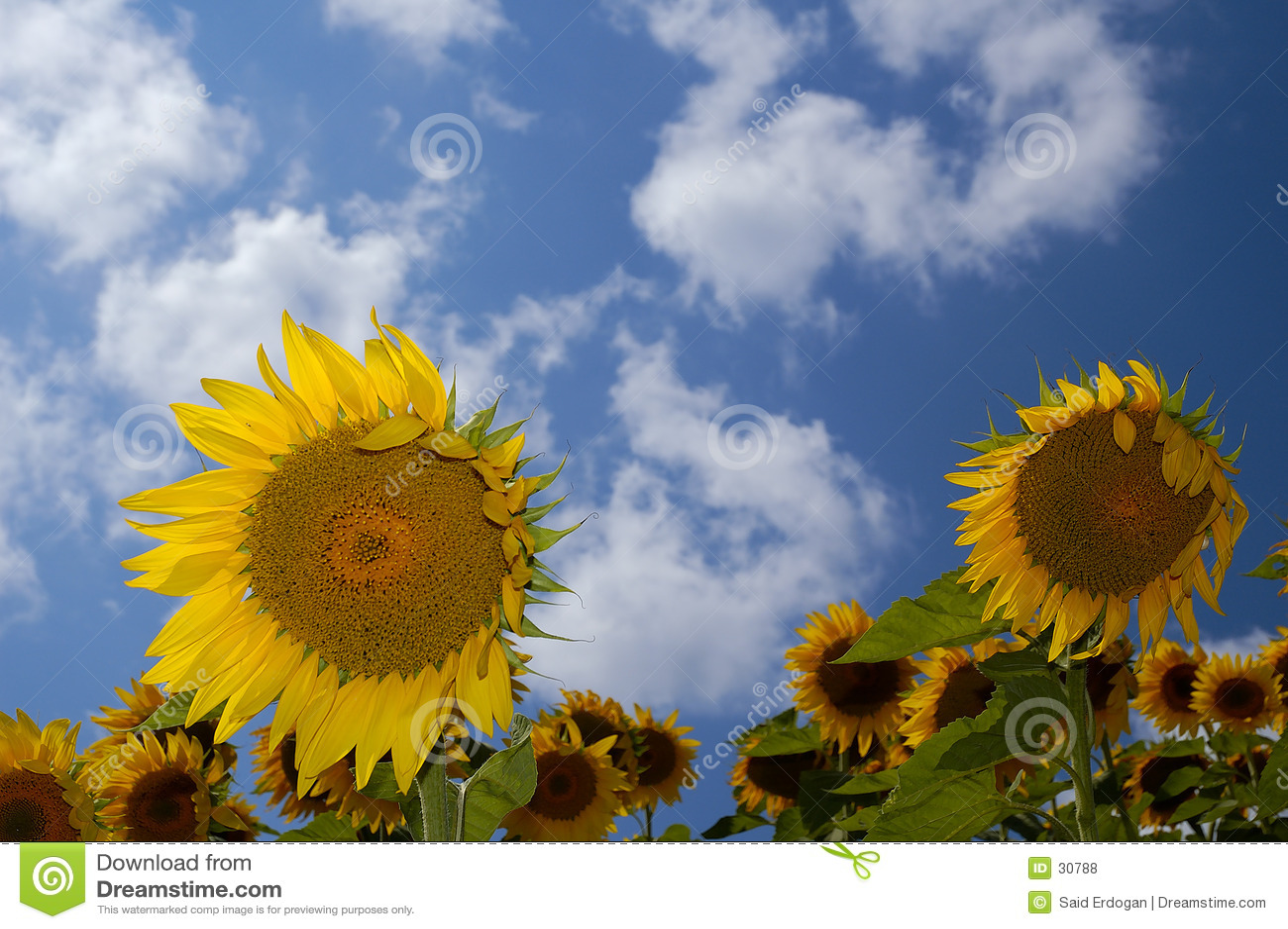 Landbouwbedrijf III van de zonnebloem