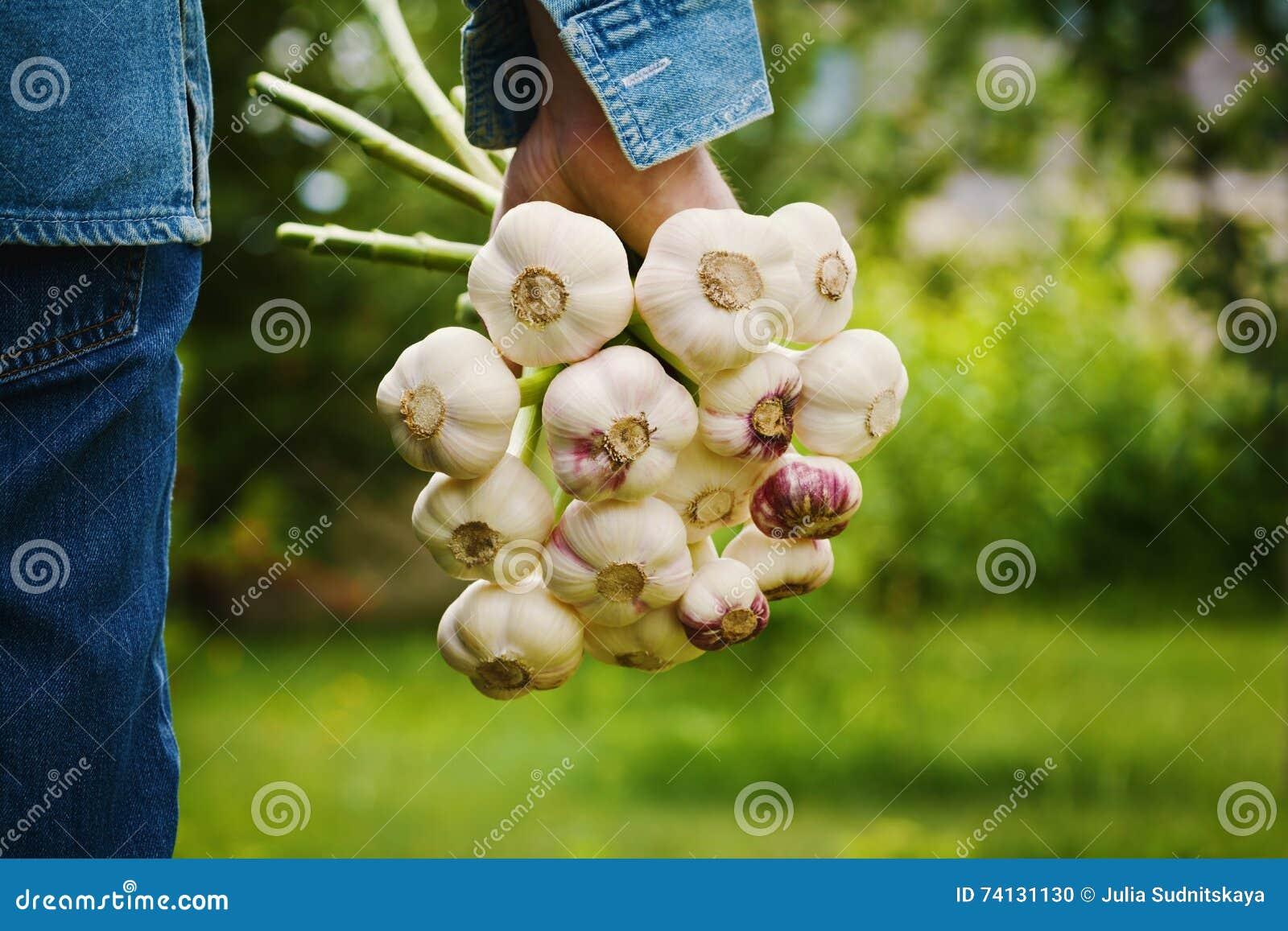 Landbouwer die een bos van knoflook in de tuin houden Organische groenten farming