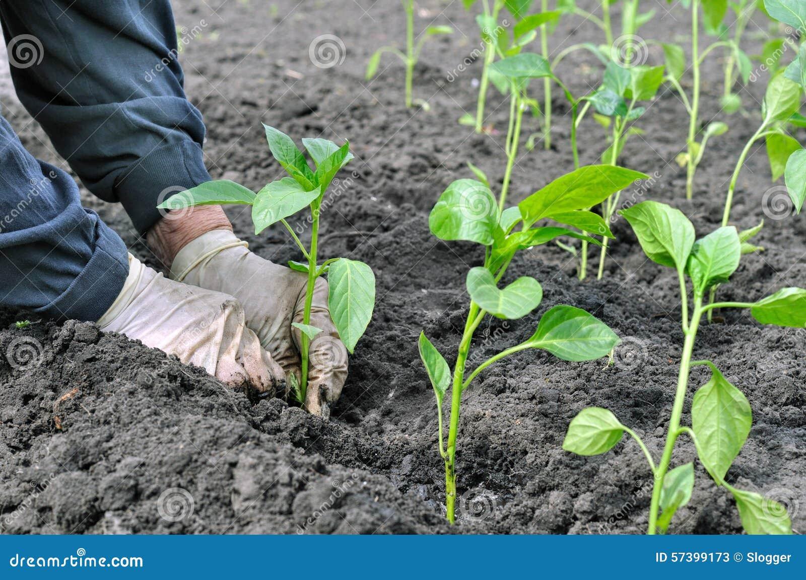 Landbouwer die een peperzaailing planten