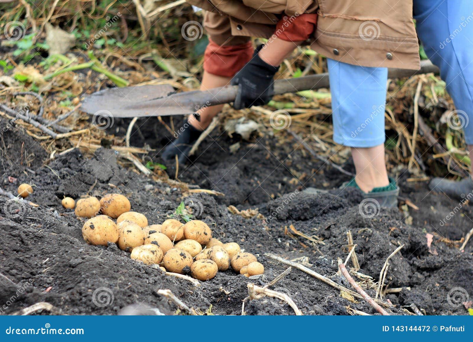 Landbouwer en organische aardappeloogst