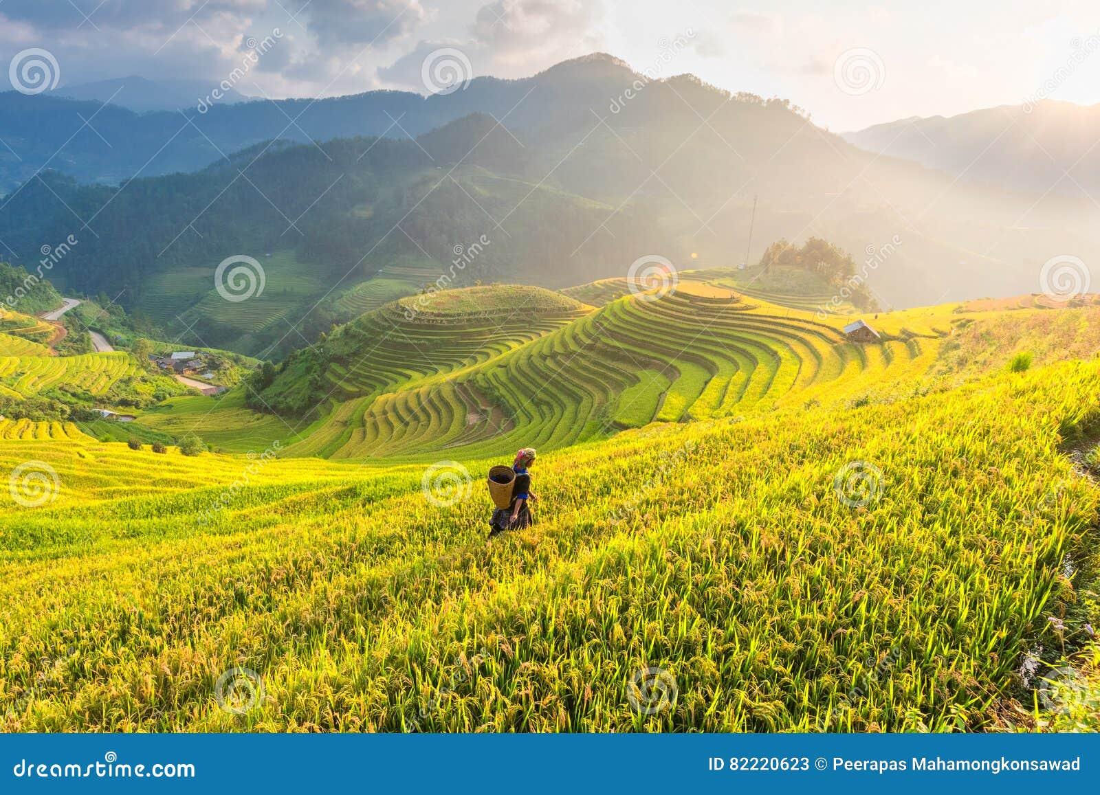 Landbouwer in Padievelden op terrasvormig van Vietnam De padievelden bereiden de oogst bij het landschap van Noordwestenvietnam v