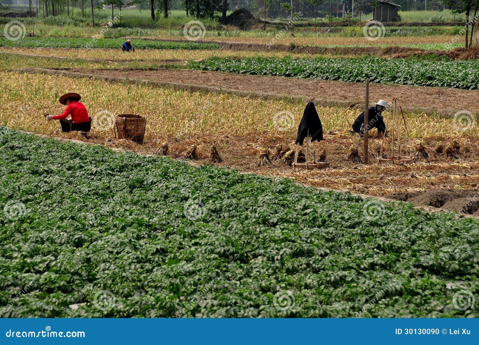 Pengzhou, China: Landbouwers die op Gebied werken