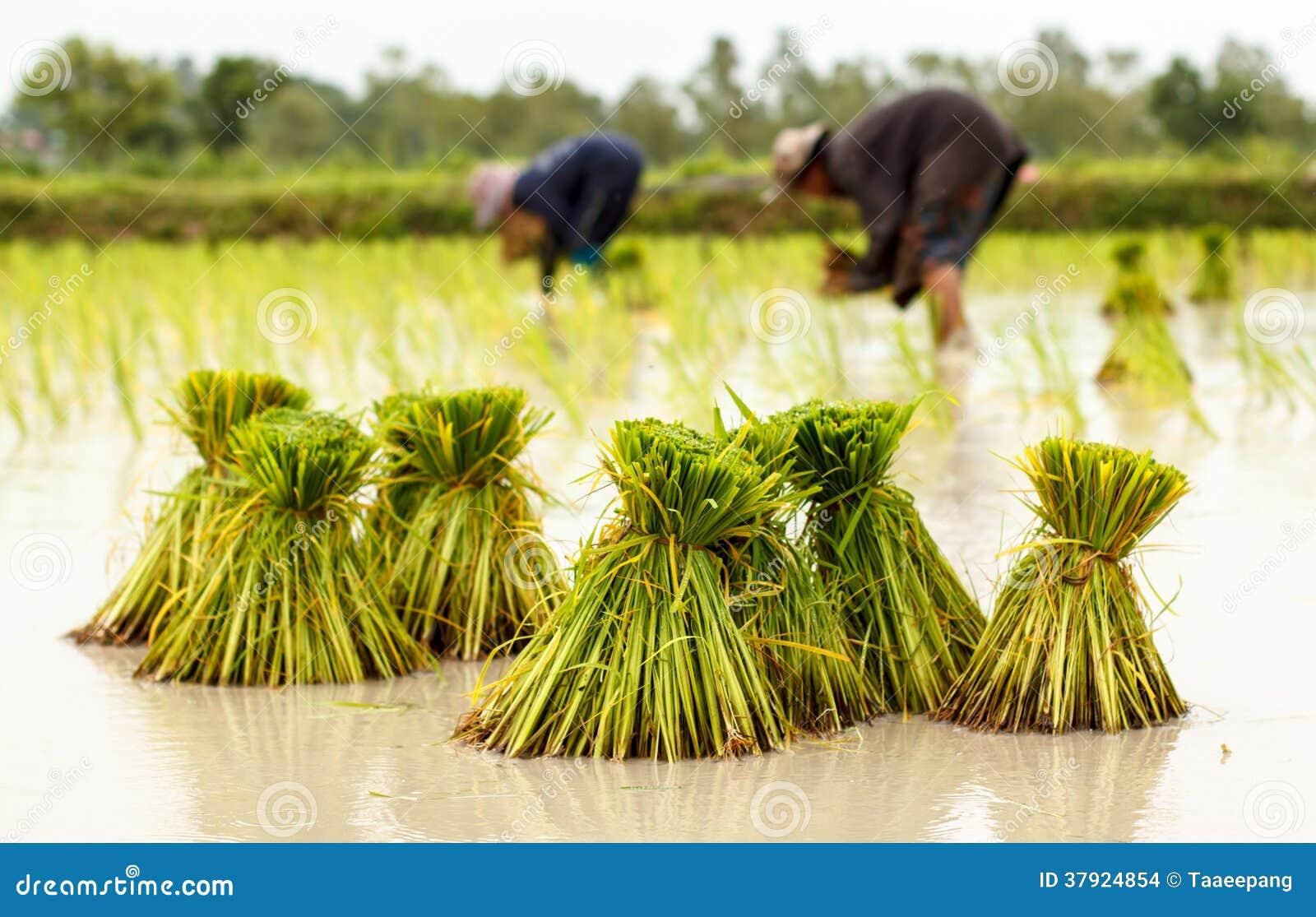 Landbouwers in de traditionele Thaise de rijstgroei van Thailand