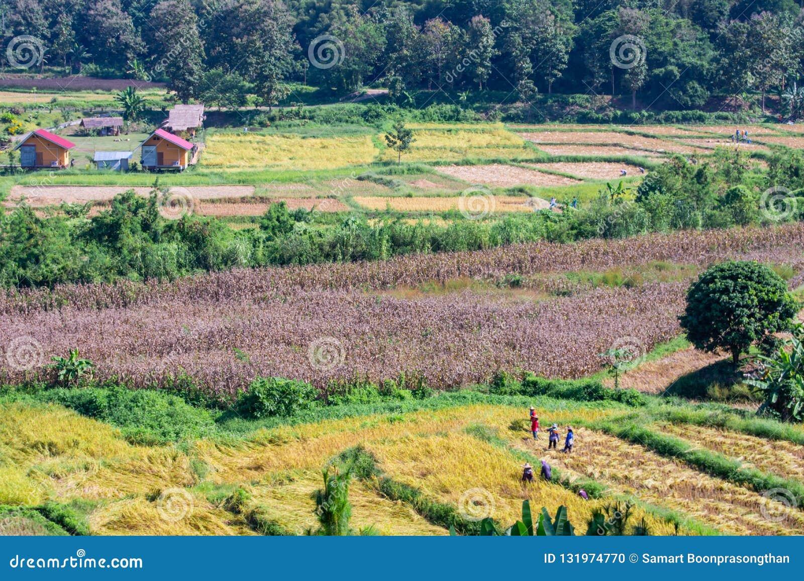 Landbouwers die de padievelden in Pua, Nan, 1 November, 2018 helpen te oogsten