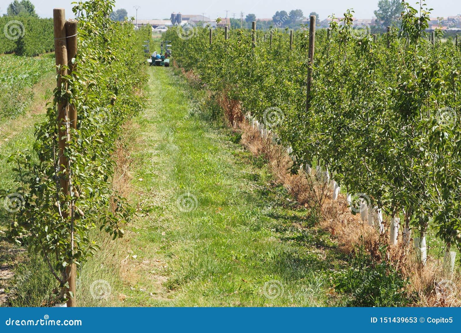 Landbouwers die perenaanplanting, lerida ontruimen
