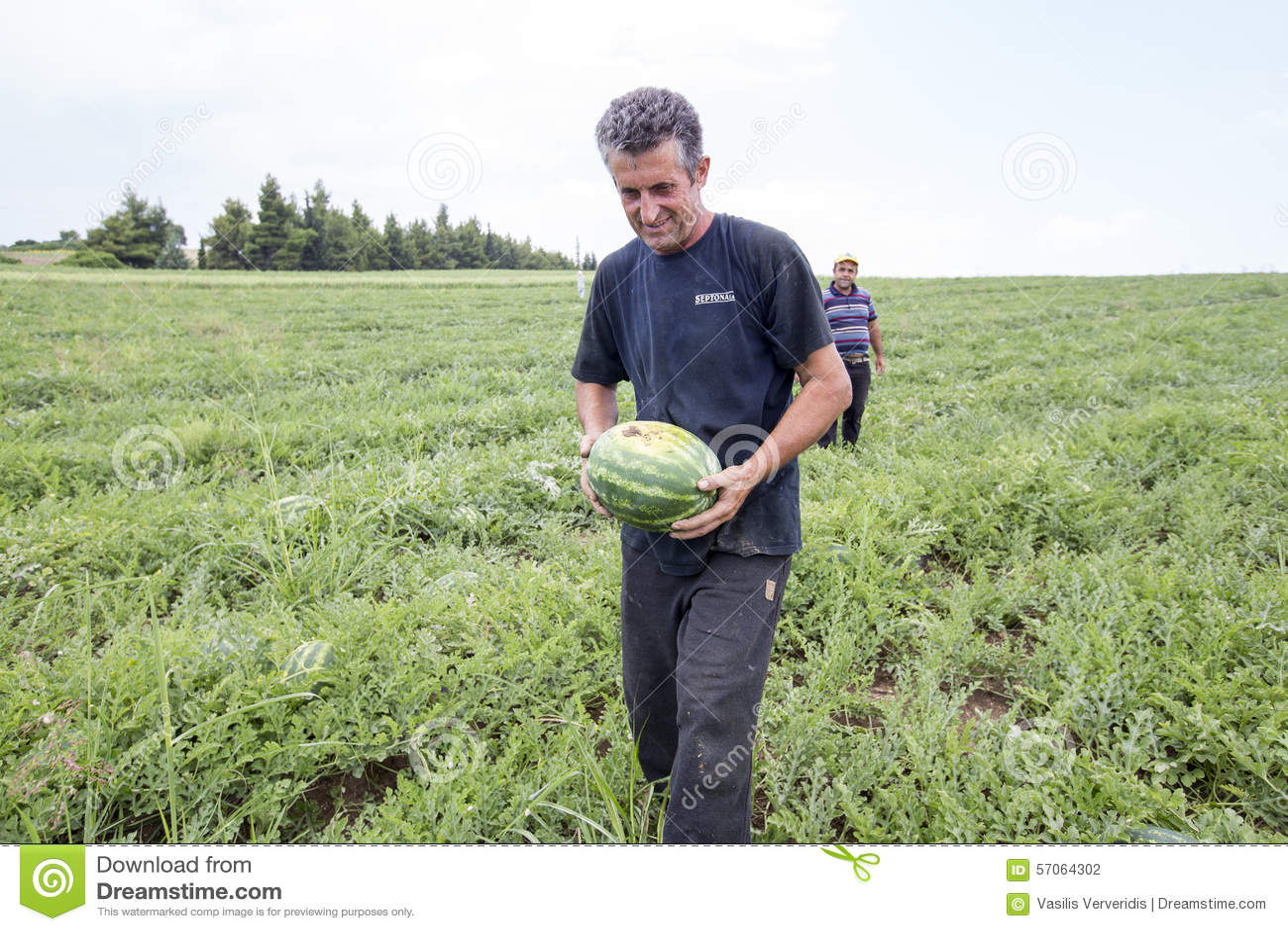 Landbouwers die watermeloenen van het gebied oogsten