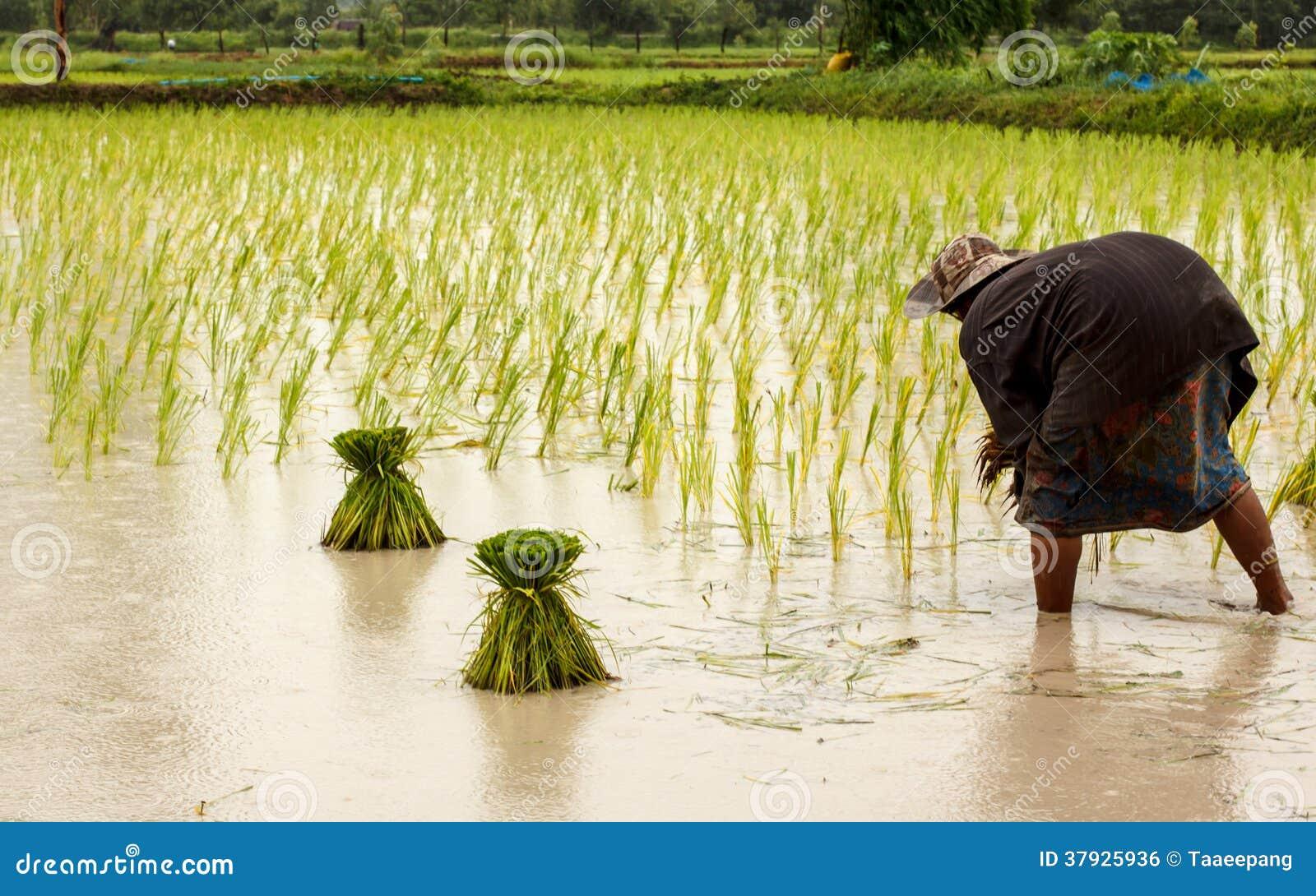 Landbouwers in Thailand