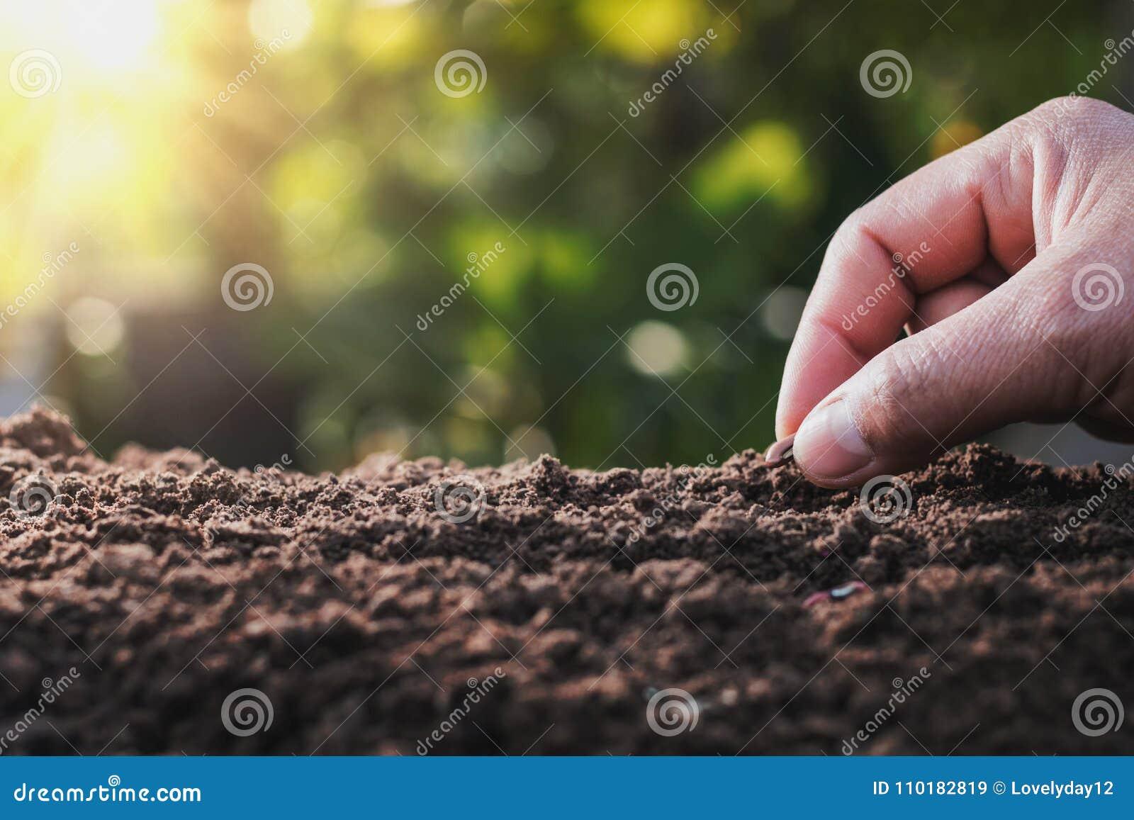 Landbouwershand die boon van merg in de moestuin planten met