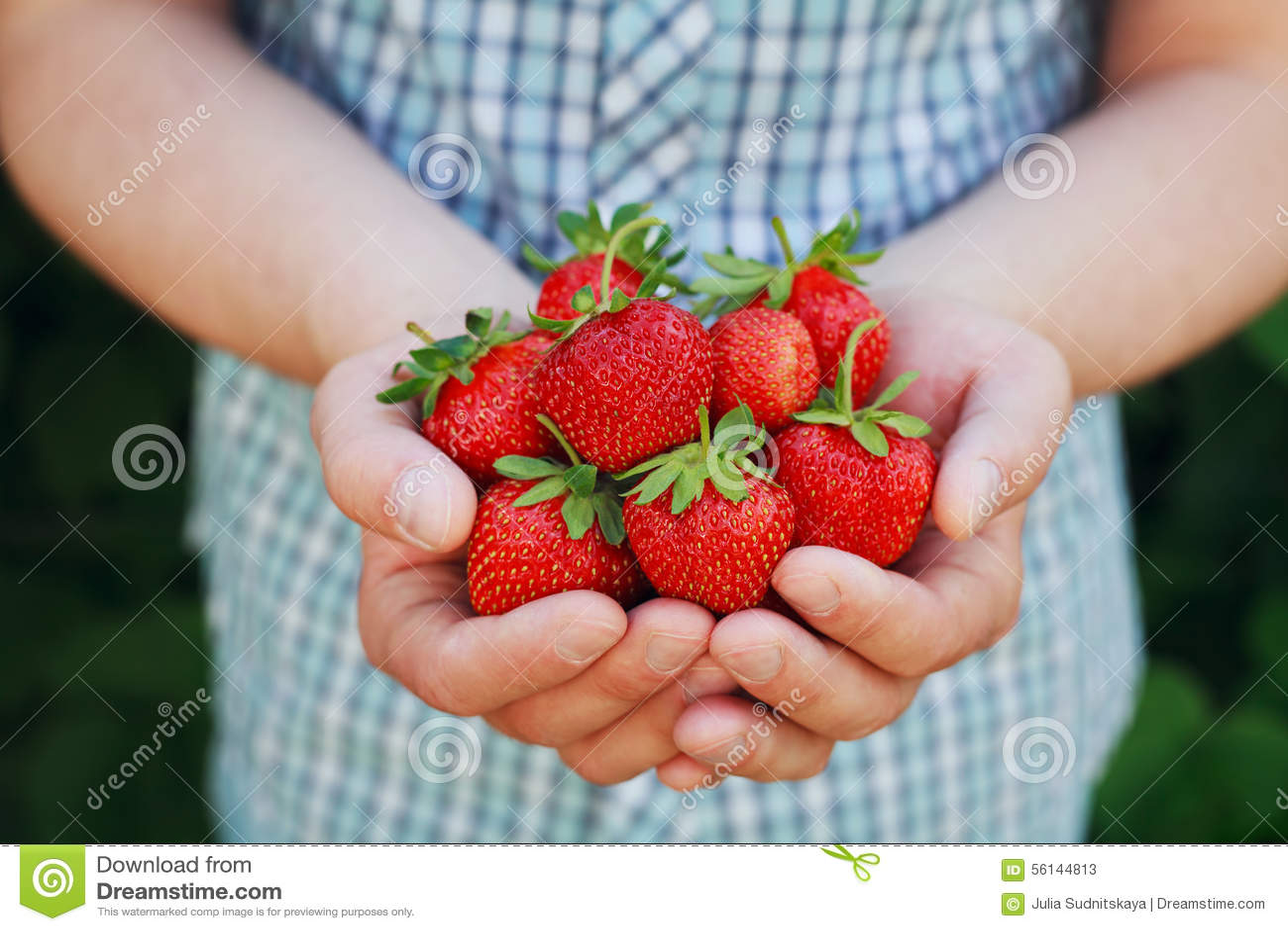 Landbouwershanden die organische rijpe aardbei houden
